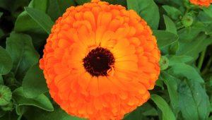 aynısefa bitkisi